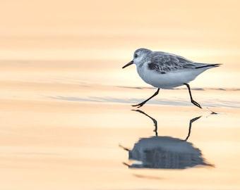 "Piper Bird Print, Beach Art, Bird Metal Print, Sanderling, Sunrise, Jacksonville, Florida  ""Sanderling on the Beach"""