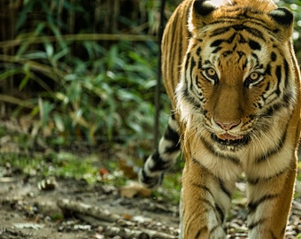 Tiger, wall art wildlife, Malayan tiger, wall decor, home decorating, living room, office