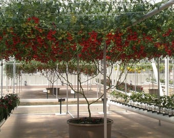 40 ITALIAN TREE TOMATO 'Trip L Crop' Seeds