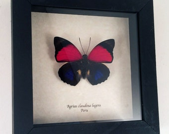 Real butterfly framed - Agrias claudina lugens