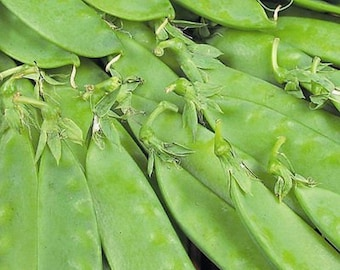 Oregon Sugar Pod-Peas-Organic Seeds-NON-GMO-Vegetable Seeds