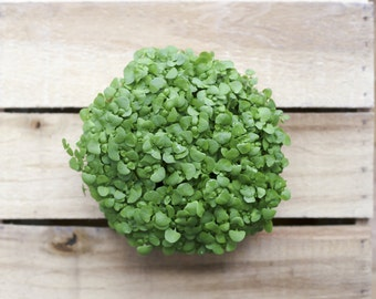 Sustainable/green edible microgreen centerpiece for weddings & events