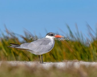 Bird Photo, Florida Wildlife, Caspian Tern Picture, Gray Green Artwork, Shorebird, Wall Art