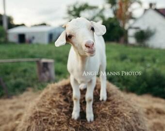 Goat Photograph, Farm Animal Photography, Quirky Goat Portrait, Rustic Home Decor