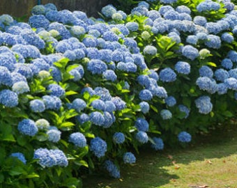 Blue (giant ball) Hydrangea sapling - 20 -30 cm tall