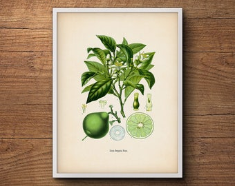 Botanical citrus print, Bergamot, Kitchen decor, Citrus print, Kitchen art, Lime poster, Vintage botanical, Botanical illustration