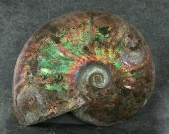 Fossil Ammonite Specimen, Large Natural Fossilized Ammonite, Large Collector Specimen, Rockhound Specimen, Unpolished Extinct Display Fossil