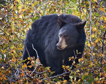 Bear in the Berry Patch
