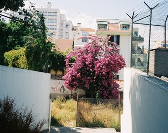 Bougainvillea, Lisbon - MED
