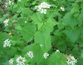 GARLIC MUSTARD naturally DRiED Flower  Herb Bunches
