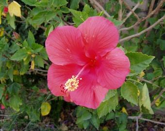 Hibiscus Glossy 8x10 Photograph