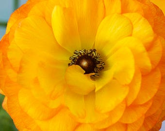 Yellow Ranunculus Flower Photography, Floral Wall Art, Fine Art Print, Macro Photography