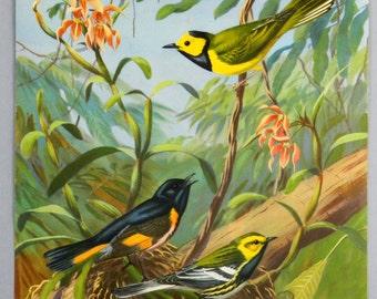 Bird Print Walter Alois Weber Mid-Century Hooded Warbler Redstart Green Warbler 17934