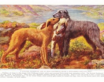 1930s Scottish Deerhound Irish Wolfhound Dog Print -  Vintage Antique Animal Pet House Home Decor Book Plate Art Illustration for Framing