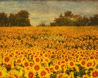 Field of Sunflowers - Sunflowers - Kansas - Kansas State Flower - Sunflower Field - Fine Art Photography