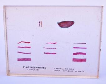 1960's Flat Worm Specimen
