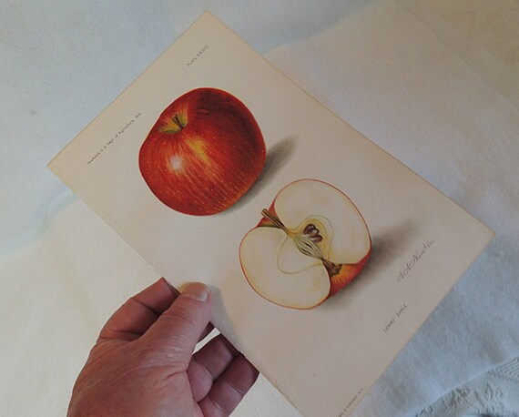2 Orig 1910 Lithograph 6 x 9 Colored Plates APPLES.. U.S. Dep Of Ag Yearbook
