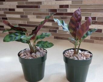 Rattlesnake Plant-Calathea Lancifolia