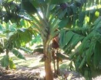 Plantation Plantain Saba BananaTree easy transplant Quick shade get 20 ft tall  live plant with or w/o leaves tree grows from live root ball