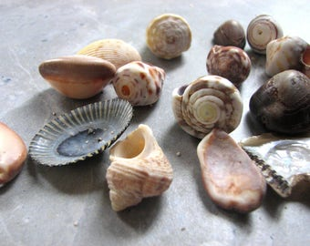 Assorted Natural Sea Shells, Found Tropical Seashells Medium Size Natural Undrill Shells, Hawaii Beach Shells