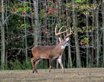 Whitetail Buck 4