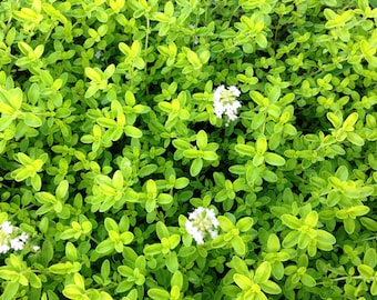 Thyme Plant, Golden Transparent Thyme, Great Groundcover Live Plant in Four Inch Pot Herb Garden Favorite