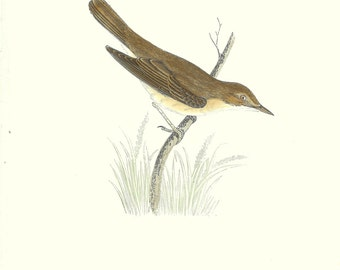 Bird Print Antique, Marsh Warbler, Water Bird Print, History of British Birds, F O Morris, 1851