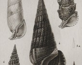 1816 Antique print of SEASHELLS. CONCHS. SHELLS. Sea Life. Molluscs. Marine Animals. Natural History. Fossils. 201 years old engraving.
