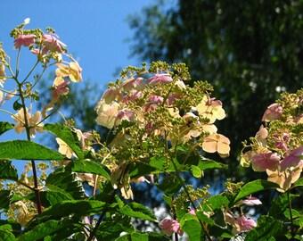 Hydrangea Bretschneideri Seeds, Hydrangea Bretschneideri - 25 Seeds
