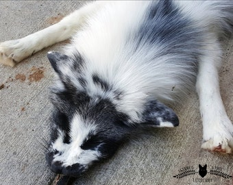 Beautiful Standard Marble Fox for Soft Mount Taxidermy
