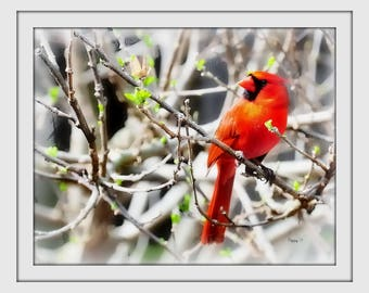 Cardinal print 11x14 inch  Signed and matted to fit a  16x20 inch frame