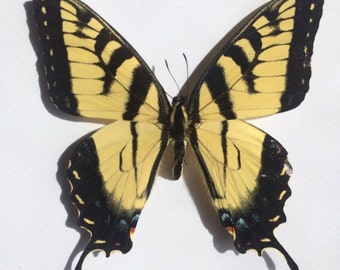 Real Butterfly // Dried Butterfly // Loose Butterfly // Eastern Tiger Swallowtail // Taxidermy Butterflies