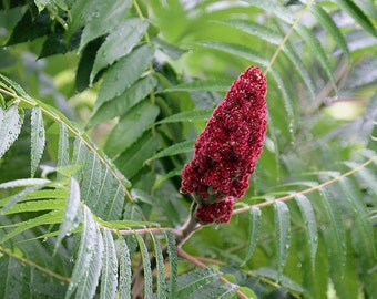H) SMOOTH SUMAC~Seeds!!!!!!~~~~~~(Rhus glabra)