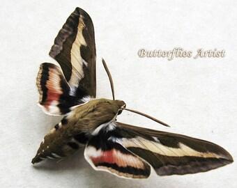 Real Hawk Moth Hyles Gallii Bedstraw Gallium Sphinx Framed In Shadowbox
