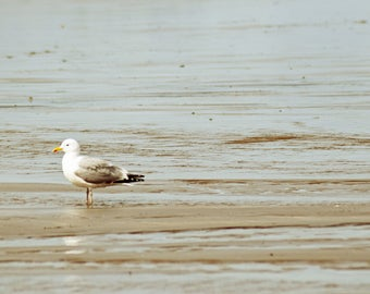 Seagull, Borth, Wales, Photography Print - 12x8 inches.
