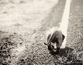 Black and White Mini Dachshund Photo - Fine Art Print - Photography Print - Wall Hanging - Dog Decor - Living Room Decor - Animal Decor