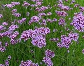 Verbena- Purpletop Vervain- 100  Seeds