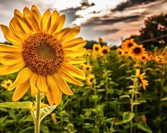 Big sunflower in a sunflower field.