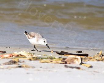 Florida Beach Bird Photography // Sanderling Photograph Print // Beach Photography