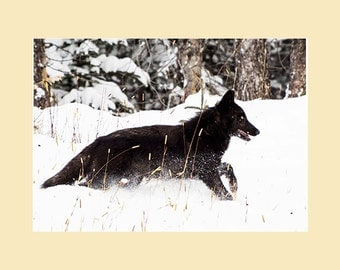 The Wild Wolves of Alberta - Black wolf running in the snow photographic print.