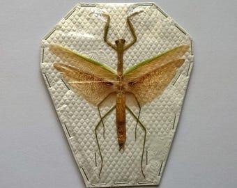 Real Tenodera Aridifolia - Mantodae - Taxidermy - Unmounted - Ready To Rehydrate - Artwork
