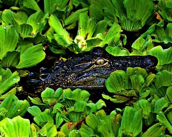 Art Print - Alligator in the Florida Everglades Wildlife Photography - Wall Art, Nature Print, Home Decor, Art Photography, Wall Picture