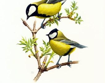 1969 Great Tit, vintage Bird Print, Ornithology, Garden bird, nature wall art