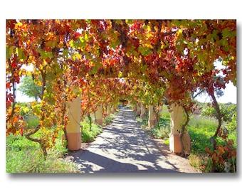 vineyard photo,grape photo,grapevine photo,winery photo,castoro winery,fall vineyard rows,winery decor,red grape leaves,wine bottles