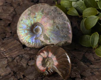 2 Rainbow Opalized AMMONITE Fossils - Opalized Fossil, Ammonite Shell, Rainbow Ammolite, Fossil Jewelry, Ammonite Jewelry Making E0354