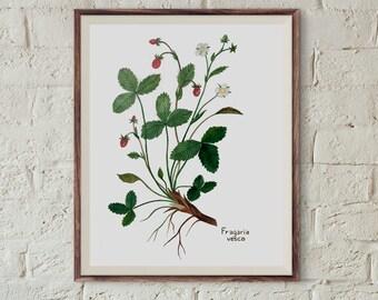 Wild Strawberry, Poziomka pospolita, Fragaria vesca - illustration 21x30cm