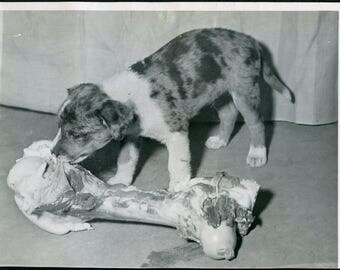 PUPPY Dog Tackles BONE Bigger Than He Is Photo Circa 1940s