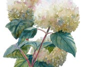 White Hydrangea art, Original impressionist watercolor painting, 11x14 cottage flower wall decor by Janet Zeh