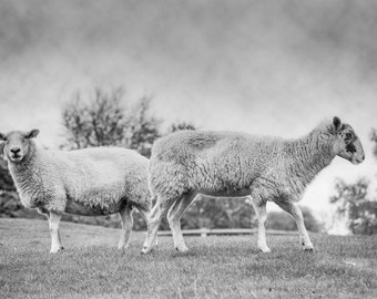 Sheep photo, Love, Valentine, Friendship, farm photo, animal photo - fine art photograph