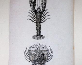 Lobster Chart/Reproduction/Botanical Chart/Paper/Fabric/Oak